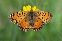 Adipe (Argynnis adippe ) (antonio palmeras palmeras) Tags: macro mariposa animal naturaleza fauna