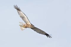 Bruine kiekendief (Patrick Jansen ( Oetmeij )) Tags: bird birdofprey birdphotography bruinekiekendief circusaeruginosus marshharrier nature roofvogels vogelfotografie