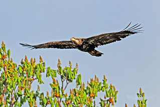 Bald Eagle Juvenile Flying 18-0422-2166