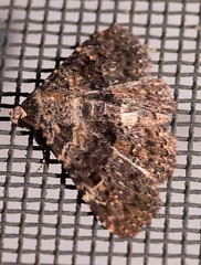 Common Fungus Moth (drkilmer) Tags: myersville maryland unitedstates us