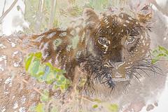 "I Dream of Satka (""Artsy"" Challenge  #1/5) (helenehoffman) Tags: amurleopard pantherapardusorientalis conservationstatuscriticallyendangered felidae mammal panthera sandiegozoo cat feline fareasternleopard carnivore bigcat animal netartii"