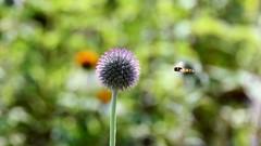 Watch out.. hoverfly about (moniquerebanks) Tags: hoverfly thistle globethistle echinopssphaerocephalus schwebfliege sweefvlieg kogeldistel syrphidae syrphusribesii plant insect fly nature outdoors nikond7100 dof closeup garden garten jardin tuin uk cumbria
