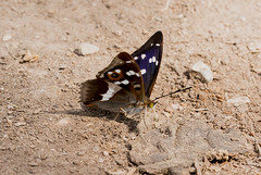 Purple Emperor (Anne Richardson) Tags: butterfly insect invertebrate wildlife nature knepp westsussex purpleemperor
