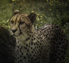 Cheetah (dbs1953) Tags: bigcat cheetahmemphiszoomemphistennessee