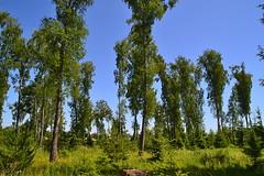 Birch park (МирославСтаменов) Tags: russia tarusa park birch crown tree