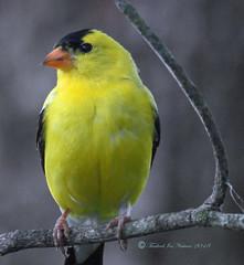 American Goldfinch (carolinawren2) Tags: goldfinch passeriformes fringillidae backyardbirds birding nature ohio