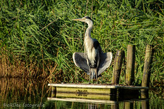 Downloading vitamin D (Ronald Dubbeldam) Tags: heron reigers sun
