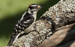 Bob the Downy Woodpecker (Randy E. Crisp) Tags: randyecrisp randycrisp crisp canon woods wildlife 7dmkii 7dmark2 7dmk2 outdoors redriver lamarcounty hagermans nationalwildliferefuge nwr graysoncounty sherman tx texas centralflyway water 2018 2017 2016 2015 2014 2013 nature limb perched trunk handheld zoom cropcamera tree robertdownyjunior robertdowneyjunior robertdowneyjr downywoodpecker
