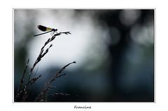 IMGP1850 (Francinen89) Tags: libellule dragonfly caloptéryx macro nature flare rivière river sombre dark