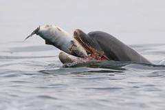 Moray Firth Dolphin (Ally.Kemp) Tags: moray firth bottlenose dolphin chanonry point fortrose rosemarkie eating salmon salar scottish scotland salmo free wildlife wild migratory atlantic fishing fish
