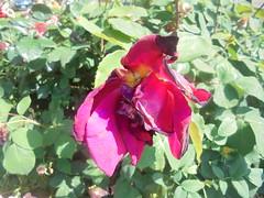 376 (en-ri) Tags: roa sfiorita appassita sony sonysti cespuglio bush verde