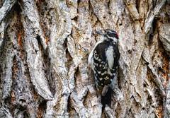 Pic mineur  Downy Woodpecker - Picoides pubescens (beluga 7) Tags: pic mineur downy woodpecker picoides pubescens picmineur downywoodpecker picoidespubescens