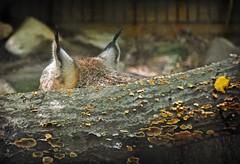 Lynx Ears (MTSOfan) Tags: ears canadalynx bigcat lvz