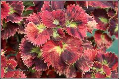 7962 - coleus (chandrasekaran a 50 lakhs views Thanks to all.) Tags: coleus nature india kotagiri nilgiris tamilnadu canoneos80d