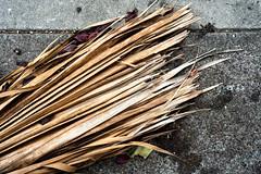 palms (queue_queue) Tags: palm branch sidewalk dry