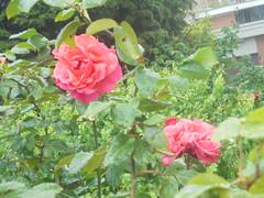 413 (en-ri) Tags: rose roses cepuglio bush verde sony sonysti