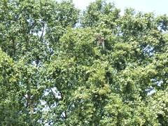 Lannerfalke (Chriest) Tags: grugaparkessen lannerfalke falcobiarmicus