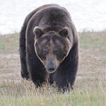 Ussuri Brown bear. thumbnail