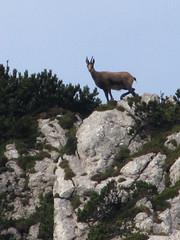 Gams / Chamois (Damijan P.) Tags: hribi gore mountains hiking slovenija slovenia ksa kamniškosavinsjkealpe kamniksavinjaalps velikivrh velikazelenica križevnik prosenak