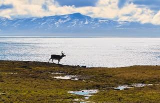 Reindeer - Renne, Ymerbukta