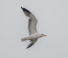 Oare Herring Gull flying
