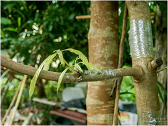 grafting (b. inxee♪♫) Tags: agriculture grafting mango
