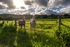 Friendly horses on the countryside of Old Town Koloa, Kauai, Hawai'i (Traylor Photography) Tags: hawaii oldkoloatown poipu country horses kauai lightsource koloa unitedstates