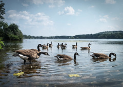 Everyone into the Pond!!! (lclower19) Tags: 3352 522018 getdownlow landscape geese canadian hornpond birds woburn massachusetts atsh august