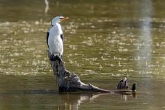 Little Pied Cormorant (gecko47) Tags: bird waterbird cormorant littlepiedcormorant phalacrocoraxmelanoleucos perch log lagoon buckleyshole bribieisland queensland bongaree