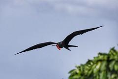 (fabhuleux) Tags: voyage travel france antilles martinique 6d canon black oiseau bird soleil sun plage nature beach