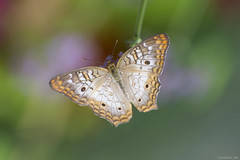 Butterfly 2018-67 (michaelramsdell1967) Tags: butterfly butterflies nature macro bokeh animal animals insect insects beauty beautiful pretty green white upclose closeup vivid vibrant lovely bug bugs detail delicate summer garden colorful wing wings fragile zen