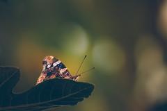 Butterfly enjoys the sunset (Inka56) Tags: butterfly sunset goldenhour bokeh