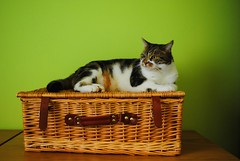 Brian going on a picnic (zawtowers) Tags: brian cat kitty cute feline adorable green wall picnic basket sitting relaxed guarding ready waiting content happy wicker
