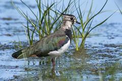 Lapwing (Bill Richmond) Tags: lapwing vanellusvanellus northern greenplover peewit wader charadriiformes nikond500 nikon500f4 nikon17xconverter