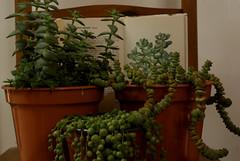 (AaronAndrewTaylor) Tags: houseplant houseplants plants plant succulent succulents book string pearls sedum perforata crassula tom thumb trailing