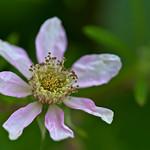 Flowering Blackberry thumbnail