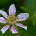 Flowering Blackberry