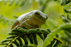Tree frog No. 2 (Leo Kramp) Tags: 2018 canon1egprofessionalgadgetbag amsterdamsewaterleidingduinen manfrottobalheadmhxprobhq2 accessoires wandelen websitedieren benroadventuremonopodmad49a flickr leo kramp leokramp wwwleokrampfotografienl leokrampfotografie