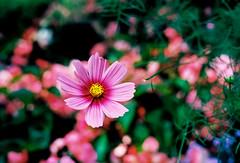 A bokeh of flowers (mkk707) Tags: film analog wwwmeinfilmlabde leicaflexsl2 summicronr50mm itsaleica leica leitzcamera vintagefilmcamera vintagelens 35mmfilm kodakektar100 bokeh pink colour flower
