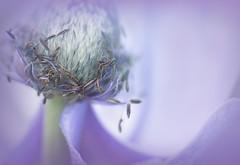 Anemone (Summername) Tags: flower anemone flora stamen stem botanical filament anther nature