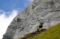 Capra Alpi Apuane (Remo Talenti) Tags: capra becco apuane sentiero