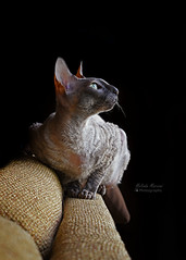 Tsunami side lit (tairuba) Tags: cat cornishrex sidelight