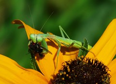 PRAYING-MANTIS AND FLY (dig dave) Tags: prayingmantis fly garden plant eat
