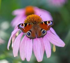 Aglais io (agnieszka.a.morawska) Tags: bokeh dof macro beyondbokeh bokehlicious bkhq helios helios44m echinacea garden summer nature motyl rusałkapawik aglaisio butterfly