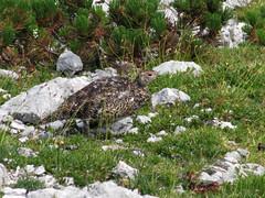 Belka / Rock ptarmigan (Damijan P.) Tags: hribi gore mountains hiking slovenija slovenia ksa kamniškosavinsjkealpe kamniksavinjaalps velikivrh velikazelenica križevnik prosenak