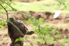 440. African Pygmy Goat (1000 Wildlife Photo Challenge) Tags: goat mammal animal wildlife nature wildlifephotography