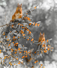 red squirrels standing in Honeysuckle (Geert Weggen) Tags: animal applefruit autumn branchplantpart bright brightlylit cheerful closeup cute food fruit fun happiness harvesting horizontal humor lightnaturalphenomenon mammal moss nature photography red rodent squirrel summer sweden tree vibrantcolor younganimal sweet honeysuckle lonicera bispgården jämtland geert geertweggen ragunda