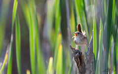 Troglodyte des marais // Marsh Wren (Keztik) Tags: cistothorus palustris bird wildlife oiseau animal nature nikon d7500