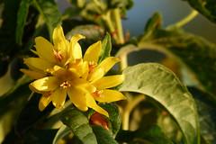 Wildflowers (evisdotter) Tags: wildflowers yellow blommor macro bokeh light nature sooc