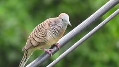 นกเขาชวา (kobpan) Tags: